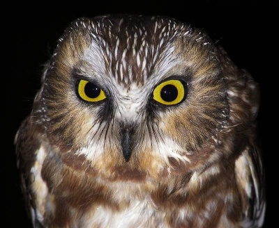 Close up of northern saw-whet owl (photo by Bob Mulvihill)
