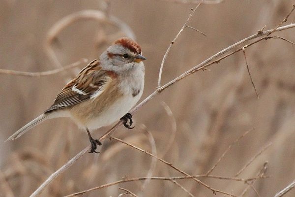 American tree sparrow (photo from Wikimedia Commons)