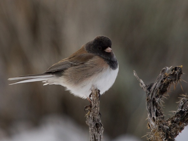 Dark-eyed junco in New Mexico (photo by Steve Valasek)