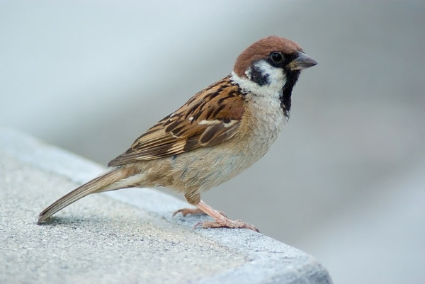Eurasian tree sparrow (photo from Wikimedia Commons)