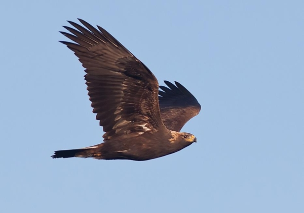 Golden eagle at the Allegheny Front Hawk Watch, 1 Nov 2011 (photo by Michael Lanzone)