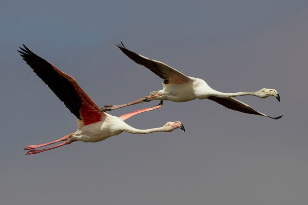 Greater Flamingoes, Walvis Bay, Namibia (photo by Yathin S Krishnappa from Wikimedia Commons)