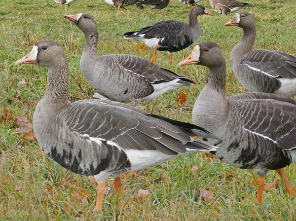 Greater white-fronted geese (detail from Crossley ID Guide for Eastern Birds)