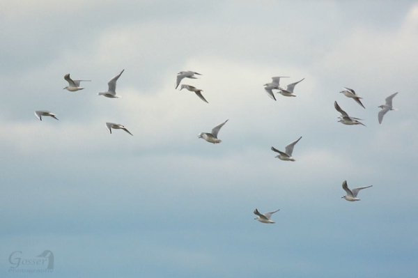 At Lake Erie, a flock of gulls with an overseas visitor among them (photo by Steve Gosser)