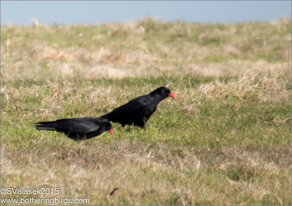 Red-billed choughs in Ireland (photo by Steve Valasek)