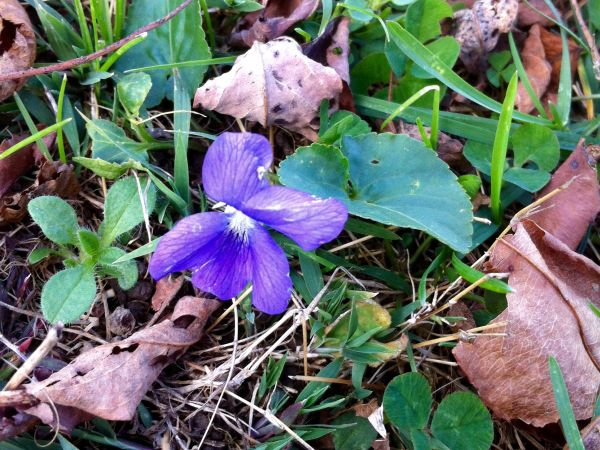 Violets blooming on November 13 in Pittsburgh (photo by Fran Bungert)