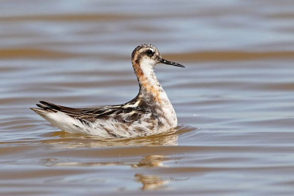 Male red-necked phalarope in July (photo from Wikimedia Commons)