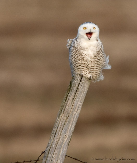 Snowy Owl, Amherst Island, 2008 (photo by Kim Steininger)