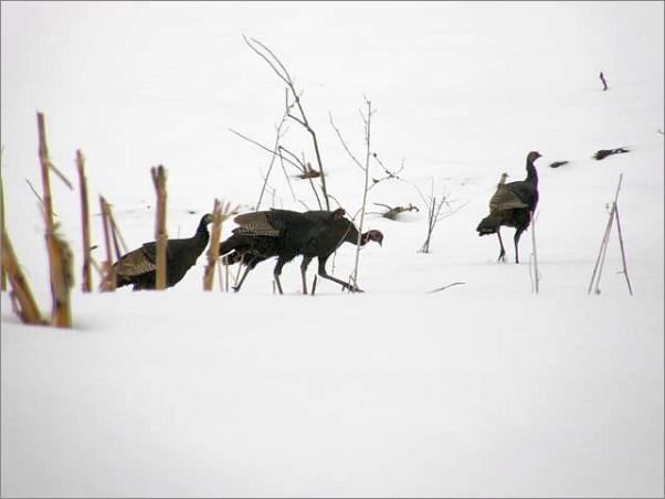 Wild turkeys in snow. How many? (photo by Marcy Cunkelman)