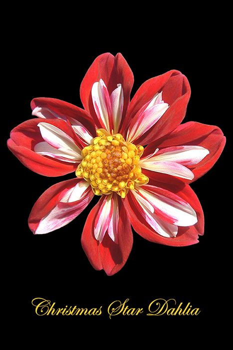 Christmas Star Dahlia (photo by Paul Staniszewski)
