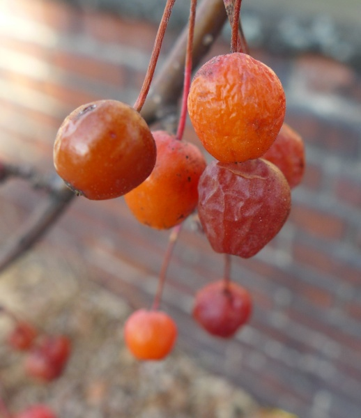 Ornamental fruit in December after a couple of frosts (photo by Kate St.John)