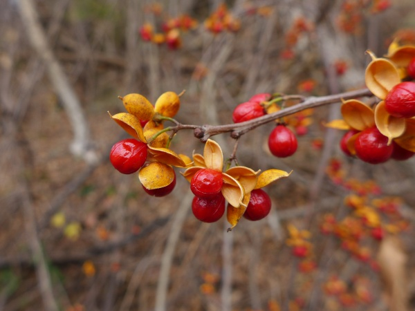 Oriential bittersweet fruits, Schenley Park, 7 Dec 2015 (photo by Kate St. John)