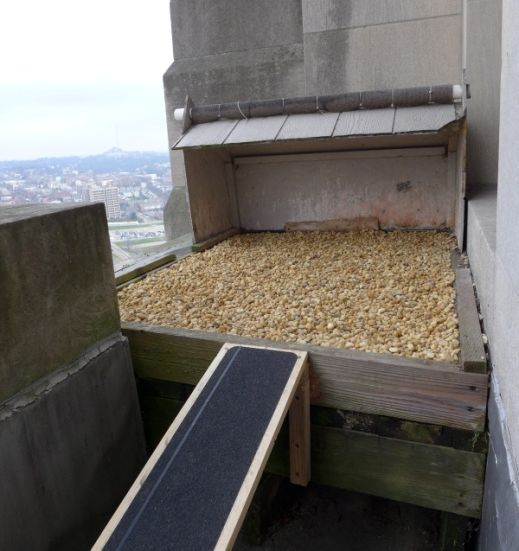 Gulf Tower peregrine nest with new digs! 10 Dec 2015 (photo by Kate St. John)