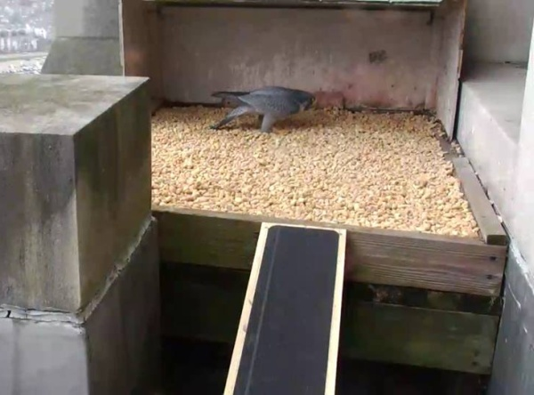 Louie visits the new digs at the Gulf Tower (photo from the National Aviary falconcam at the Gulf Tower in Downtown Pittsburgh)