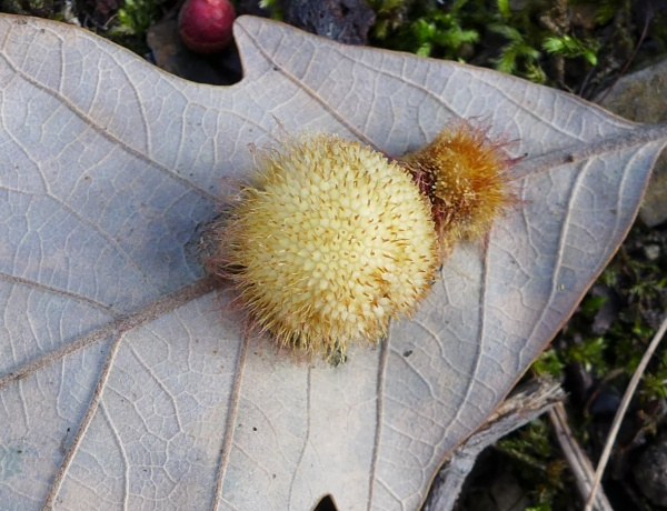 Close-up of oak gall, Washington County, PA, November 2015 (photo by Kate St. John)