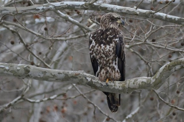 Immature bald eagle, Loyalhanna Dam, 27 Jan 2016 (photo by Anthony Bruno)