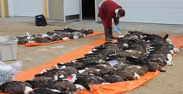 In 2012 USFW researchers examined 58 dead bald eagles and identified lead exposure as a significant mortality factor (photo from USFW)