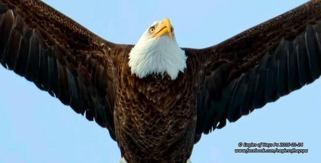 Bald eagle (photo by Dana Nesiti, Eagles of Hays, PA)