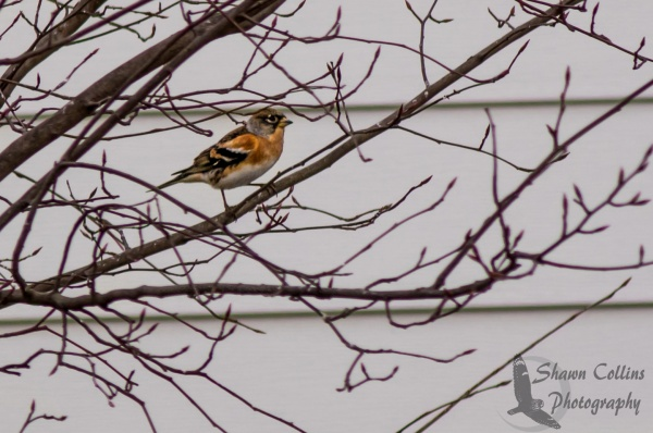 Brambling in Medina County Ohio, 1 Jan 2016 (photo by Shawn Collins)