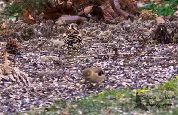 The brambling matches the ground when his back is turned, 1 Jan 2016 (photo by Shawn Collins)