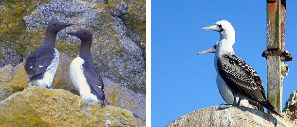 Common Murres, Peruvian Boobies (photos from Wikimedia Commons)