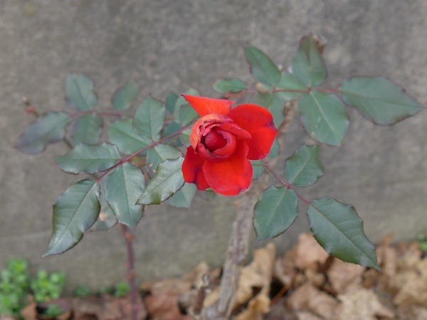 A rose in Pittsburgh, 30 Dec 2015 (photo by Kate St. John)