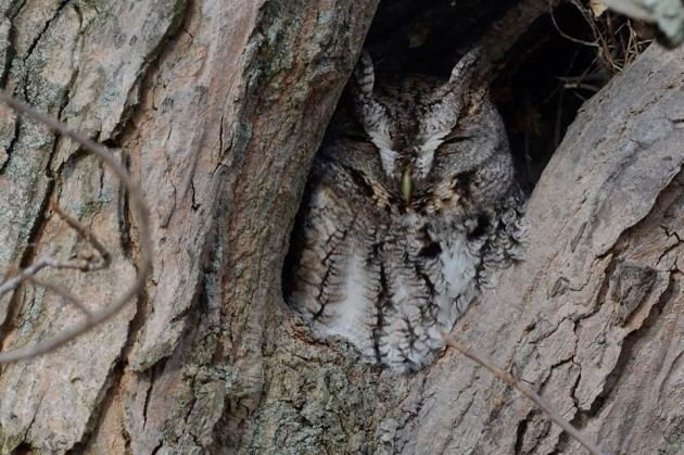 Eastern screech-owl near Loyalhanna Dam, 28 Jan 2016 (photo by Anthony Bruno)