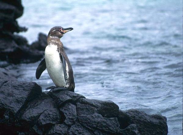 Galápagos Penguin, Galápagos Islands, Ecuador (photo from Wikimedia Commons)