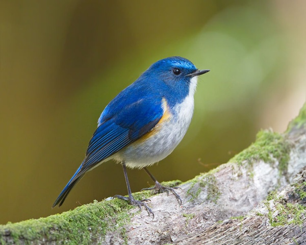 The bluest bird. Only a subspecies? (photo from Wikimedia Commons)