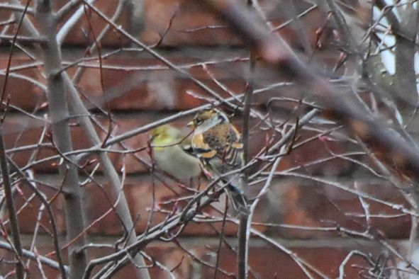 A brief glimpse of the brambling, 1 Jan 2016 (photo by Donna Foyle)