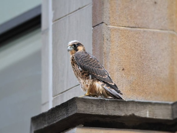 Fledgling peregrine falcon, Downtown Pittsburgh, June 2015 (photo by Doug Cunzolo)