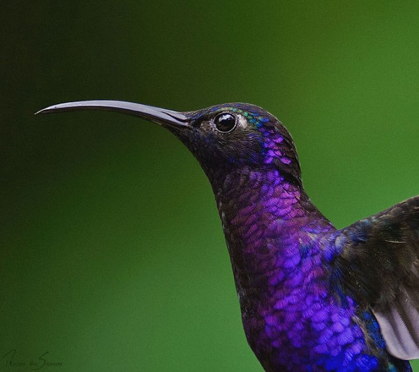 Violet sabrewing, Costa Rica (photo by Sonja Pauen via Wikimedia Commons)