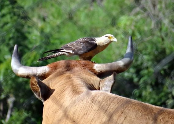 Yellow-headed caracara on a cow in Venezuela (photo from Wikimedia Commons)