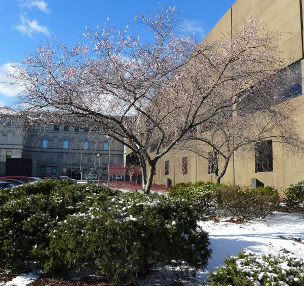 Flowering cherry tree in snow, 4 Jan 2016 at Carnegie Museum in Pittsburgh (photo by Kate St. John)