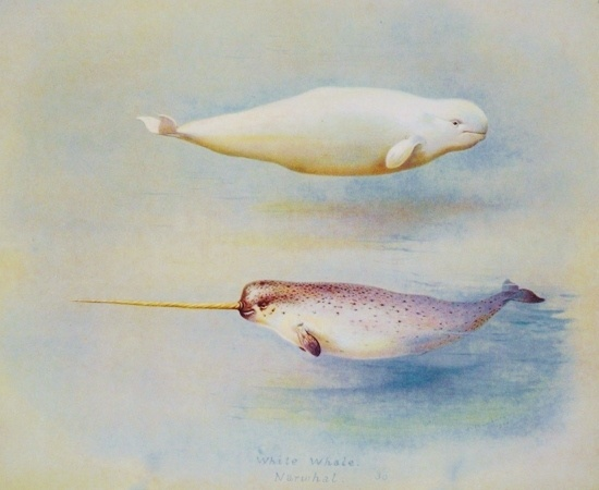 Close relatives: Beluga whale and narwhal (illustration from Wikimedia Commons)