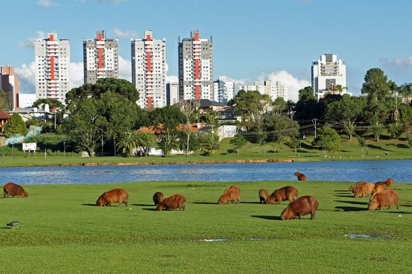 Capybaras grazing at Parque Barigüi, Curitiba, Brazil (photo from Wikimedia Commons)