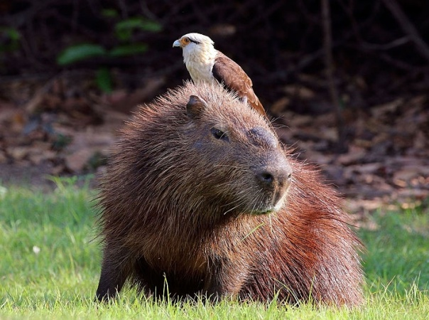 Yellow-headed caracara on capybara (photo from Wikimedia Commons)