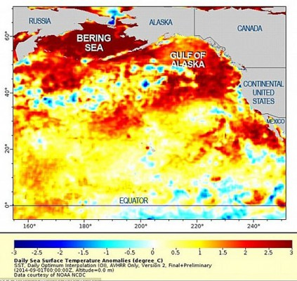 "Three ""blobs"" of warm surface water in the Northern Pacific, 1 Sept 2014 (image from NOAA via Wikimedia Commons)"