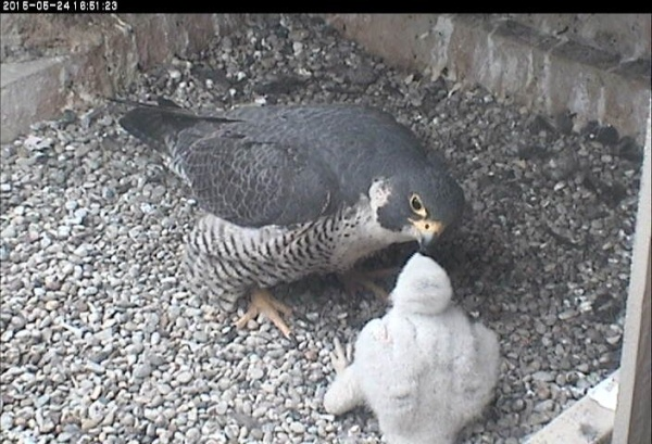 Dorothy feeds the chick, 24 May 2015 (photo from the National Aviary falconcam at Univ. of Pittsburgh)