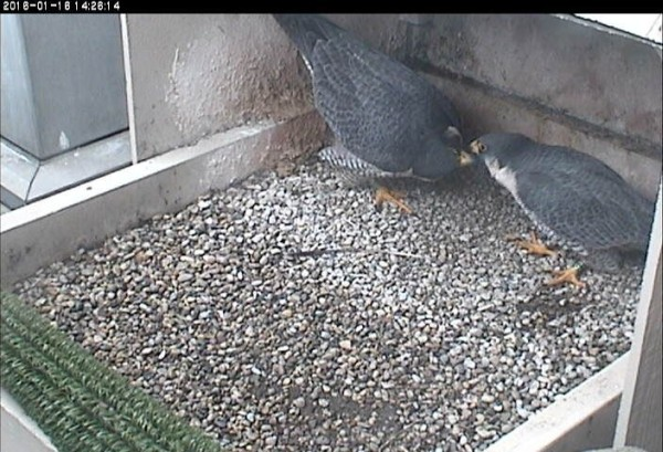 Hope bows low and turns her head in courtship with E2 (photo from the National Aviary snapshot camera at the Cathedral of Learning)