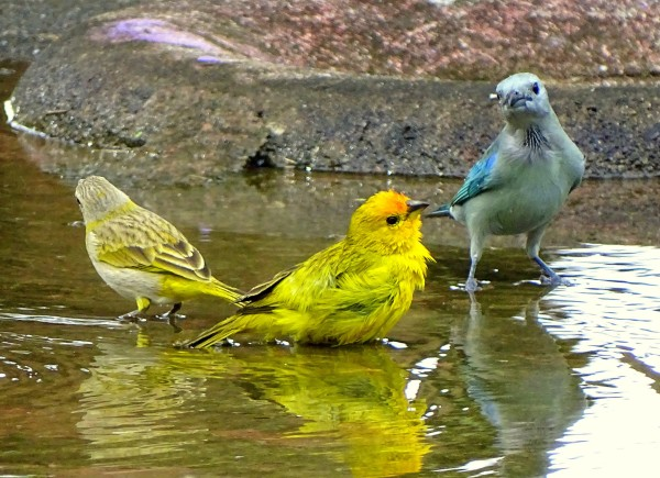 Grassland Yellow-Finch, Orange-fronted Yellow-Finch and Glaucous Tanager bathing in southern Venezuela (photo by barloventomagico, Creative Commons license via Flickr)