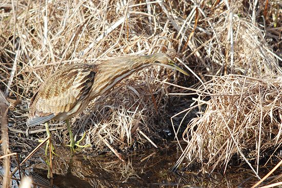 American bittern craning his neck (photo by Billtacular on Flickr Creative Commons license)