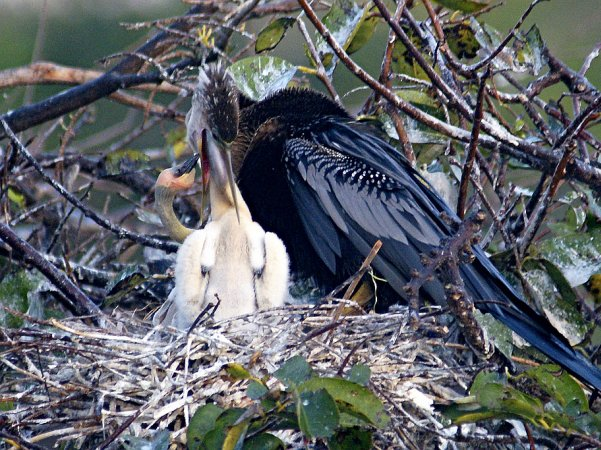 Anhinga feeding its young while second nestling begs (photo by shellgame via Flicker Creative Commons license)