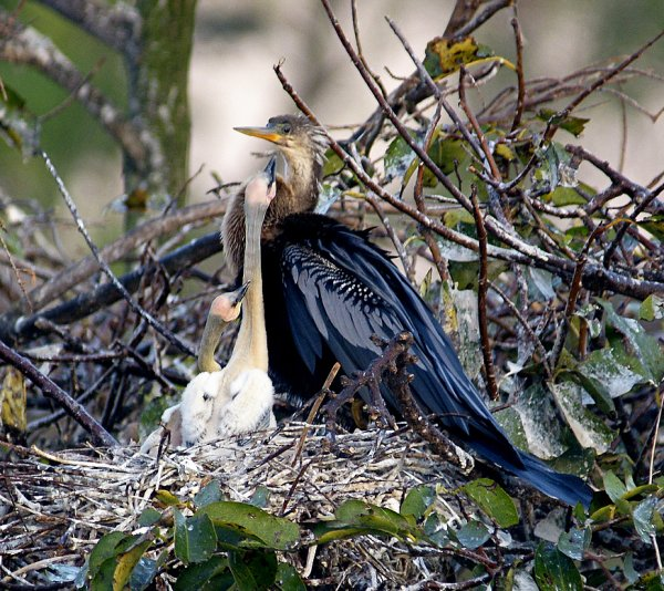 Anhinga with young in nest (photo by shellgame via Flicker Creative Commons license)