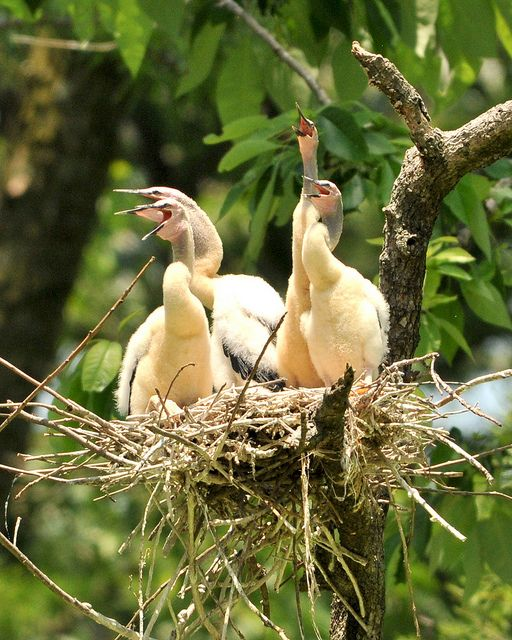 Anhinga nestlings (photo by Jimmy Smith via Flickr Creative Commons license)