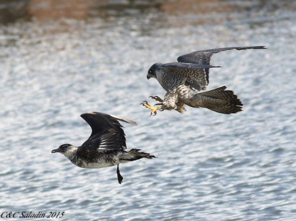 Peregrine falcon harasses pomarine jaegar, Cleveland, Ohio, January 2015 (photo from Chad+Chris Saladin)