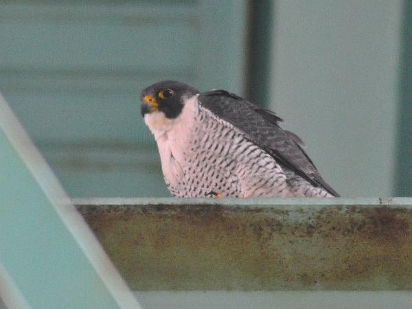 Peregrine falcon at Tarentum Bridge, 8 Feb 2016, 3:30pm (photo by Scott Kinzey)