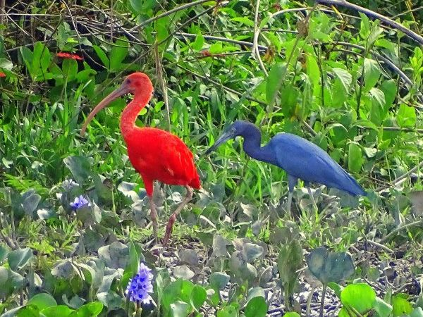 Scarlet ibis, little blue heron, Venezuela (photo by barloventomagico via Flicker)
