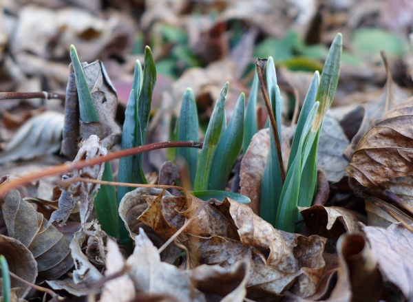 Daffodil leaves, 3 Feb 2016 (photo by Kate St. John)