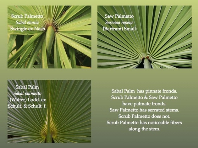 Comparing Palms: Scrub Palmetto, Saw Palmetto, Sabal Palm (illustration by Chuck Tague)